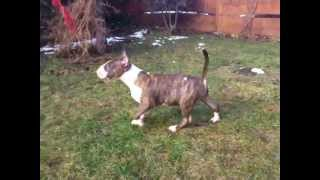 Etna From Speaking Eyes 12 Weeks Old Bull Terrier Puppy