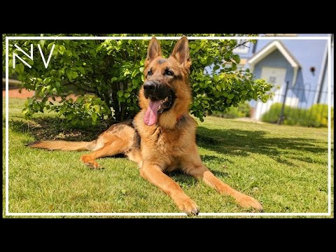 A Full Day Of INSANITY With A German Shepherd | NerdVlog