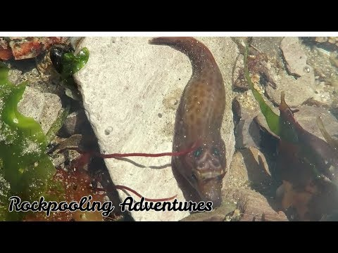 Beginners Guide To Rockpooling: Fish Tails