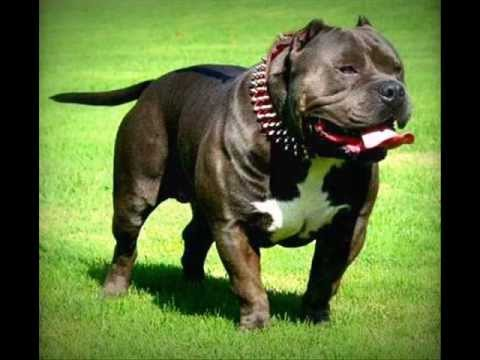 Top 10º cachorros de briga (guarda). - YouTube