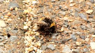 Ants are moving a Bumble Bee A horde of ants are moving and eating a bumble bee