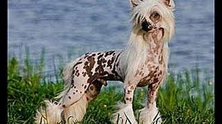Китайская хохлатая собака (Chinese Crested Dog). Породы собак(Dog Breed)