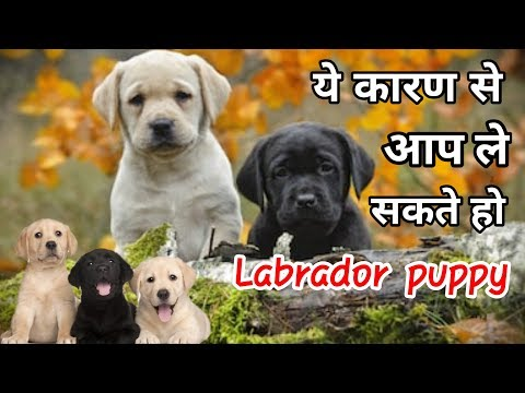 ये कारण से आप ले सकते हो labrador retriever / in Hindi / why we should buy labrador