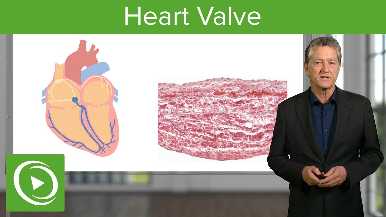 Heart Valve: Valve & Regulation  – Histology | Lecturio