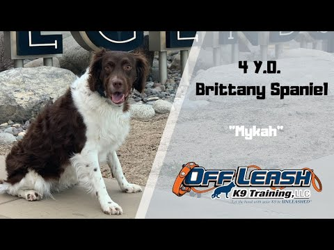 BRITTANY SPANIEL/DOG TRAINING