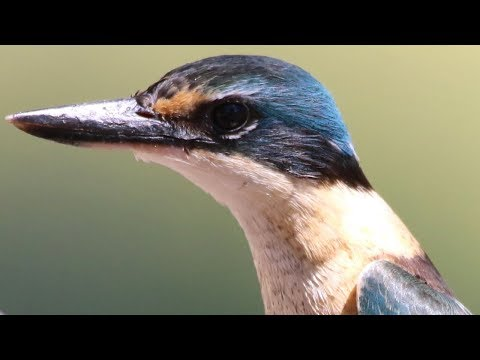 Up Close With Stunning Sacred Kingfisher – Capertee Valley