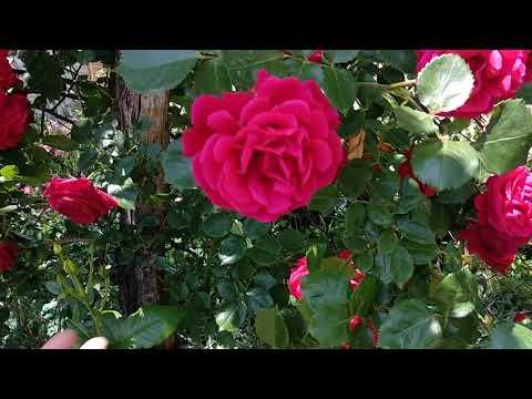 Вопрос: Можно ли определить сорт розы по фото или сказать какой вид розы?