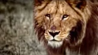 African lions give Alistair McGowan a scare - BBC wildlife