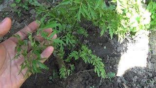 #375 | Cách Trồng Cây Đinh Lăng Trong Vườn | Trồng Rau Sạch Tại Nhà