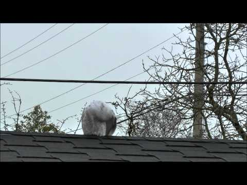 Snowy Owl Cleaning Its Self
