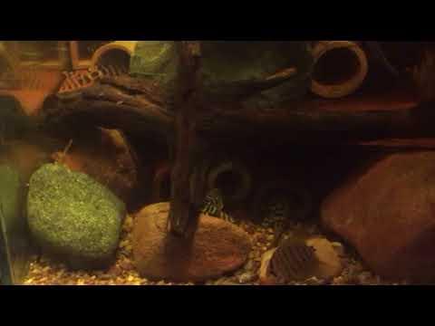 L134 leopard frog pleco peckoltia compta