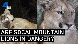 Are SoCal Mountain Lions In Jeopardy? | NBCLA