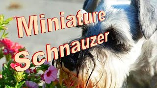 Miniature Schnauzer Dog Breed Info.  How to Choose Dogs