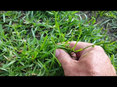 Weed Identification  - Learn many common weeds in your lawn