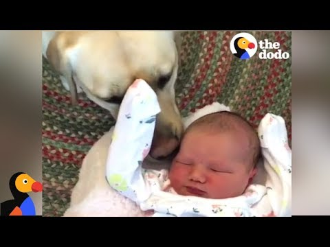 Dogs Meet Babies For The First Time | The Dodo