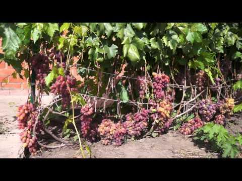 Виноград сорт Юбилей Новочеркасска (август)