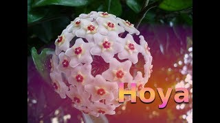 La Hoya carnosa