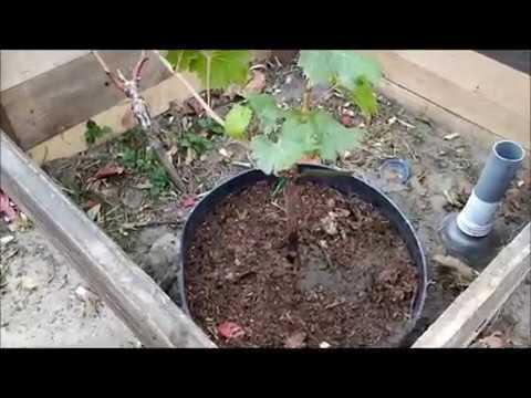 Саженец винограда есть, а посадить пока некуда  Что делать