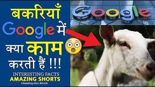 Фото बकरियाँ भी गूगल में क्या काम करती हैं 😲 Amazing Wow Facts Shorts