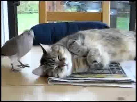 Le Chat zen et la tourterelle