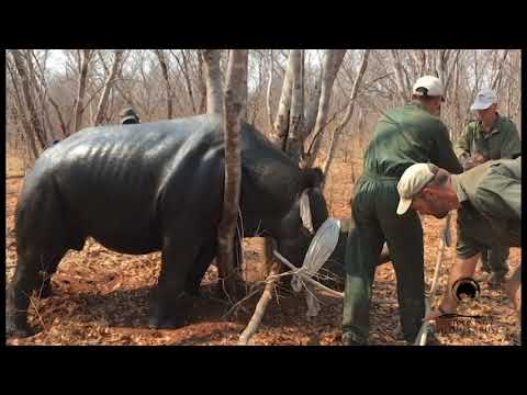 'Operation Rhino': Black Rhino Translocation, Zimbabwe