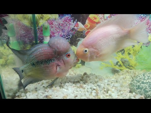 FlowerHorn And Parrot Fish Breeding Successful Tips.