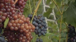 Садовые советы: выращиваем виноград