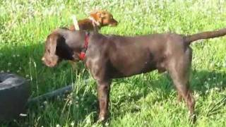 Hansi - Liver Colored German Shorthair Pointer