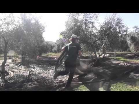 Butamarta橄欖園收成篇