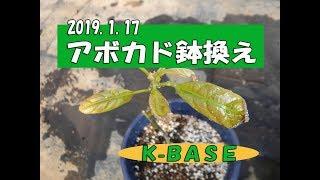アボカド苗鉢換え 2019.1.17_avokado_K-BASE thumbnail