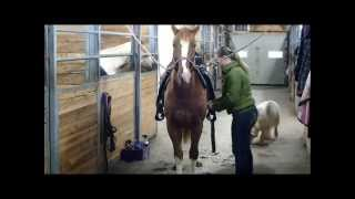 Pumkin cheval QH à vendre