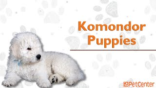 Is The Komondor The Right Puppy For You?