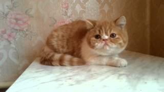 Питомник кошек Ля Рошель Рошен персов и экзотов 15