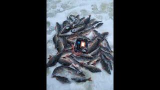 Раздача окуней на Рыбинском водохранилище в январе