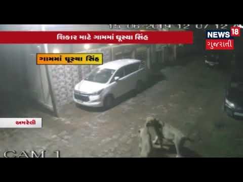 VIDEO: અમરેલીના ખંભામાં ગાયના મારણ માટે ગામમાં ઘુસ્યા સિંહ, CCTV ફૂટેજ