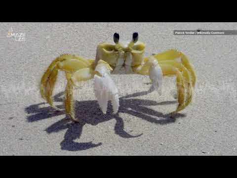 Ghost Crabs Use Teeth in Their Stomachs to Growl at Predators