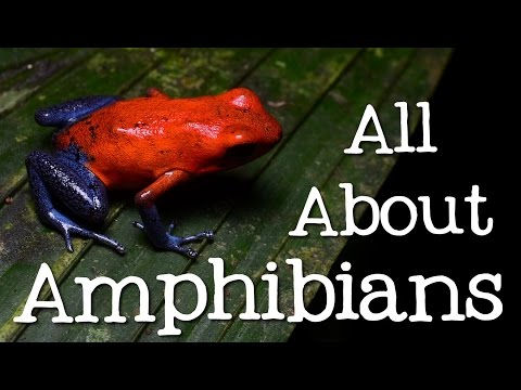 All About Amphibians: Tadpoles, Frogs, And Salamanders - Freeschool