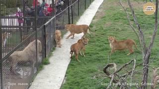 Львицы ополчились на Лейлу. Lionesses attack the lioness Leila.