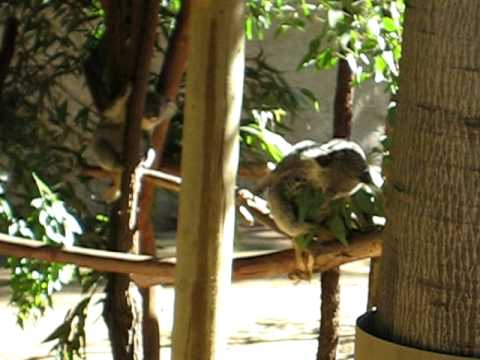 Do koalas spank pics 31