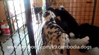 K9 Cambodia Pedigree Great Dane Puppies For sale