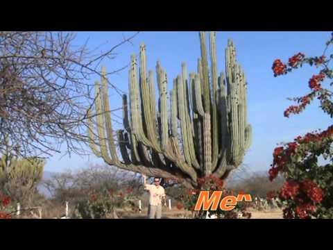Самый большой кактус в мире. Мексика