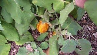 How I transplant advanced eggplants & chillies....