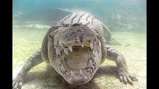 Обладатель самого сильного укуса среди всех животных в мире (Гребнистый крокодил)