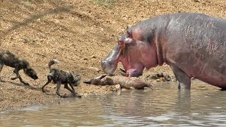 Hippo Steals Kudu from Wild Dogs