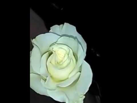 Que Significa La Rosa Blanca Rosas Blancas Cual Es Su Significado