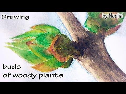 Drawing  buds of woody plants / Рисуем почки деревьев