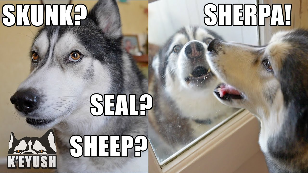 So Shocked! Genius Husky Works Out His Best Friend is here!