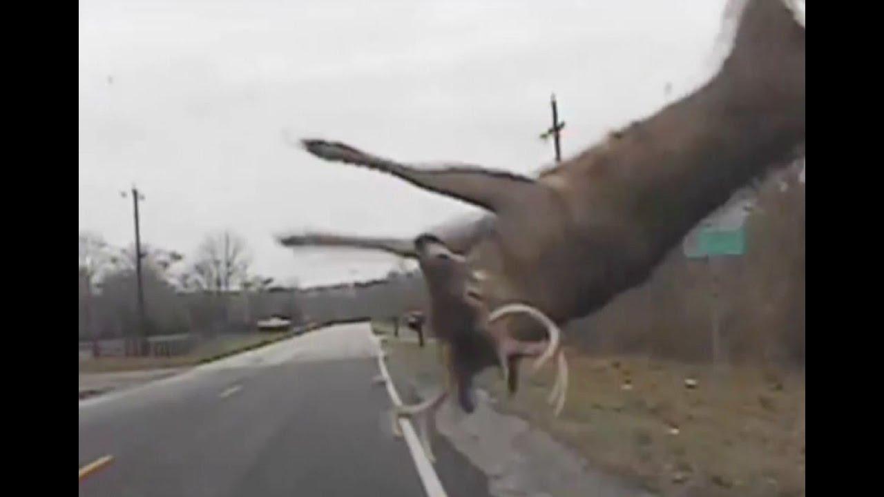 Lucky Deer Smashes Into Police Car Walks Away Uninjured Youtube