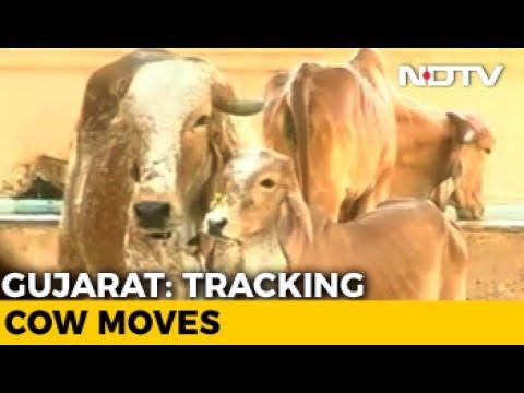 In Gujarat, Cows Get Digital Implant As 'Aadhaar' IDs For Cattle Begins
