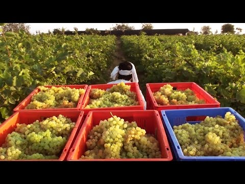 Thompson seedless Grape Harvesting